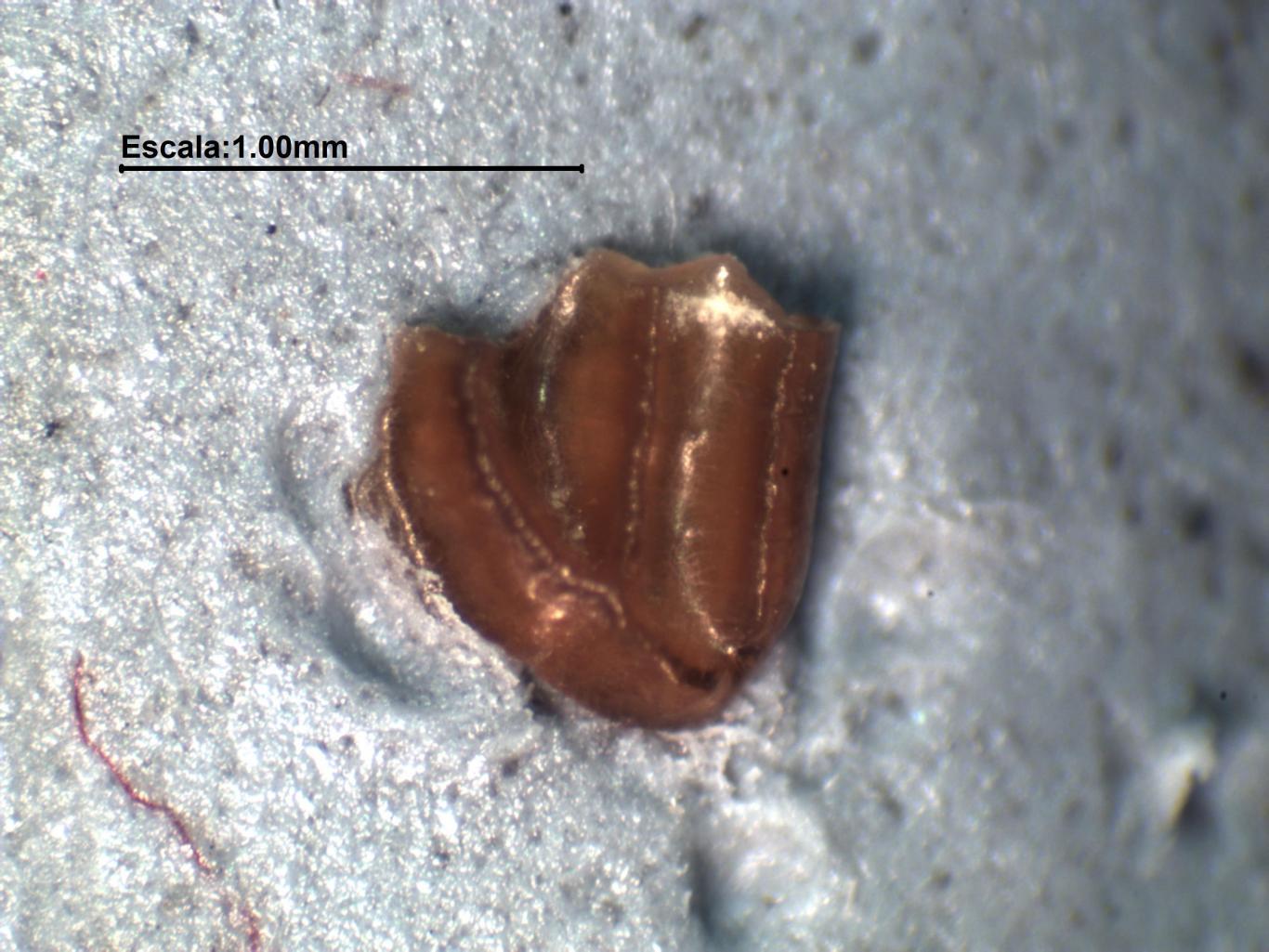Imagen de pieza dental de Glírido