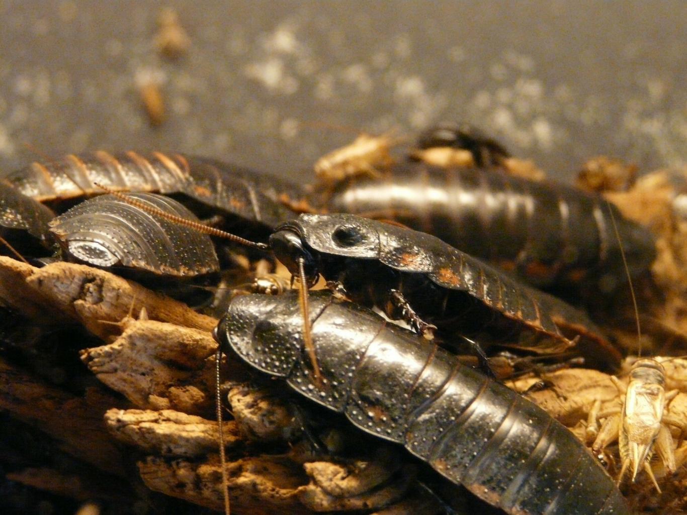Varias cucarachas grandes sobre hojas