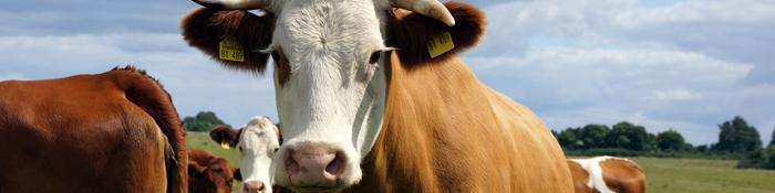 Imagen de una cabeza de ganado vacuno