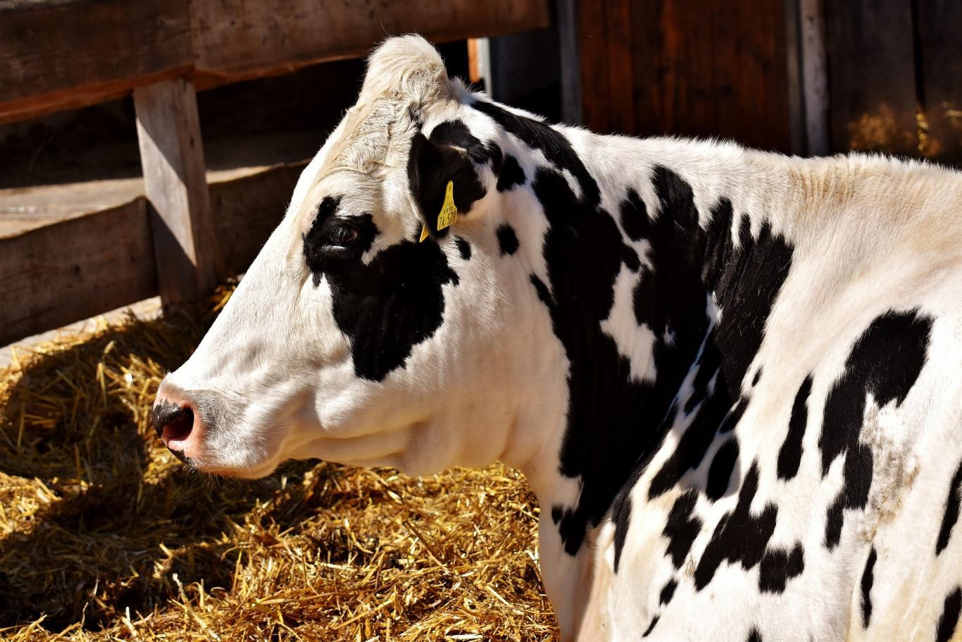 Vaca lechera en una explotación ganadera