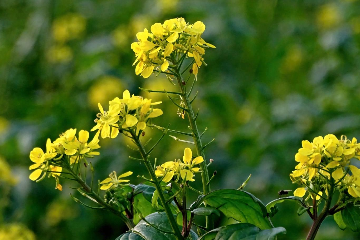 Plantas de colza (con flor amarilla)