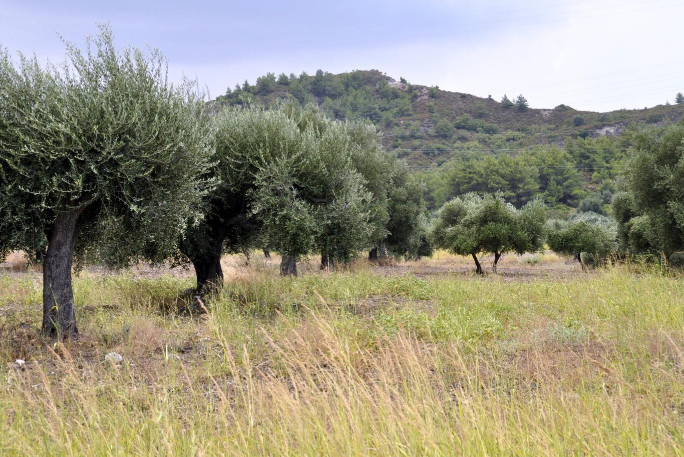 imagen campo de olivos