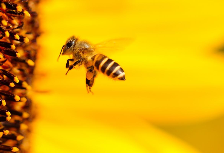 Abeja volando hacia una flor amarilla