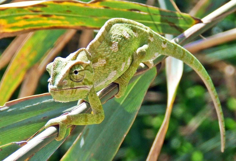 Camaleón mediterráneo en unas ramas verdes