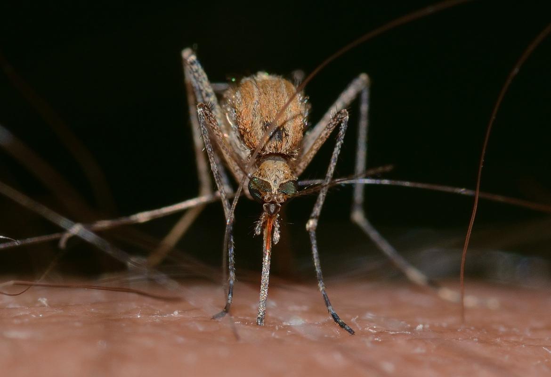 Primer plano de frente de un mosquito del género Culex