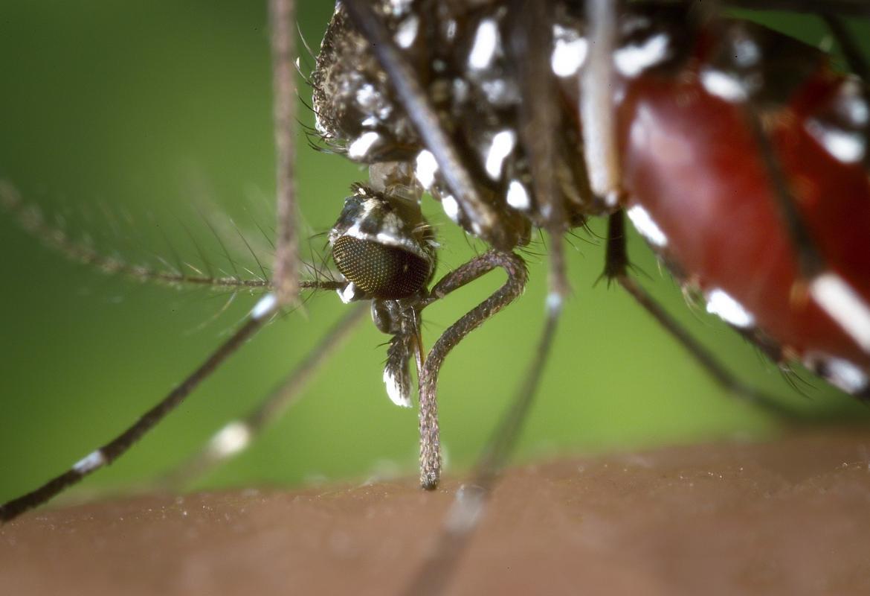 Primer plano de un mosquito tigre, Aedes albopictus