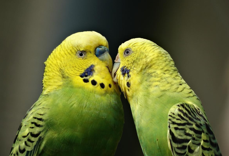 Pareja de periquitos amarillo