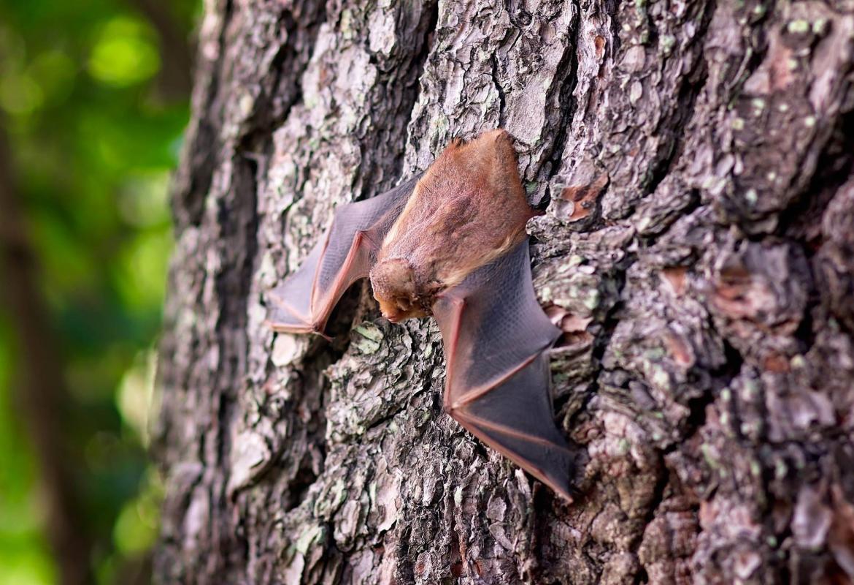 Murciélago sobre la corteza de un árbol