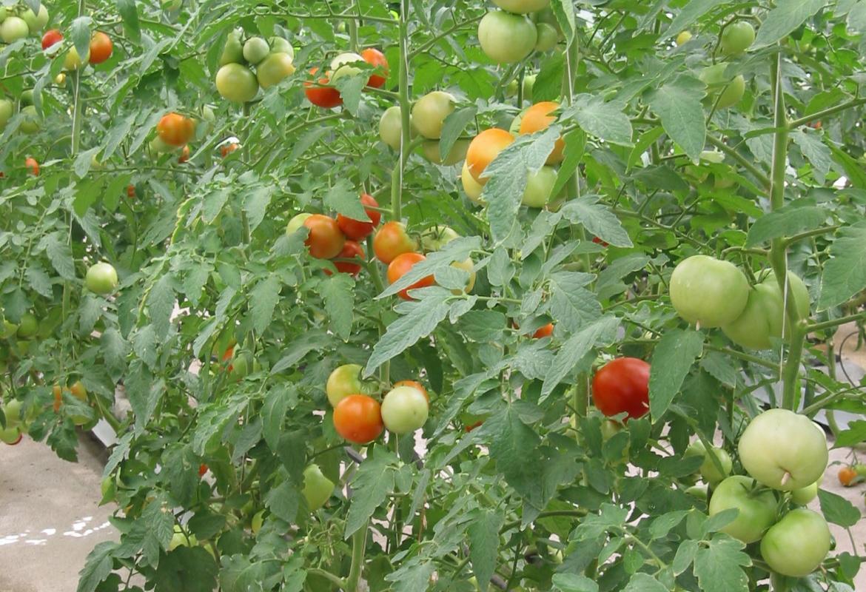 tomates en cultivo hidropónico
