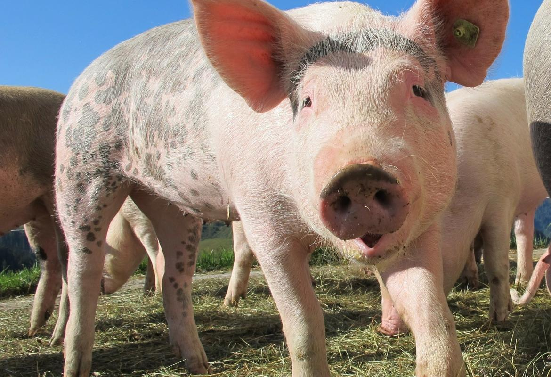 Cerdo vivo