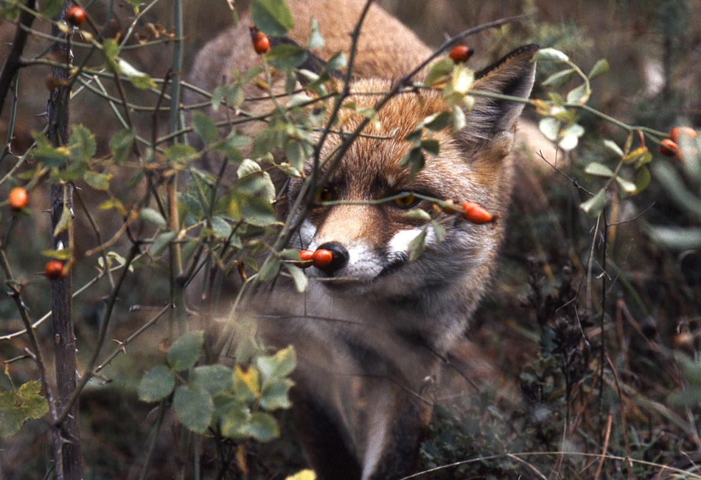 Fauna_Zorro (Vulpes vulpes)