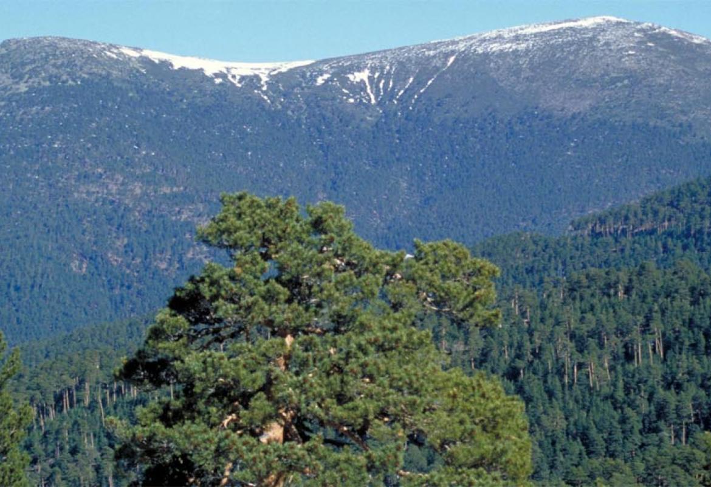 Pinos silvestres en la Sierra de Guadarrama