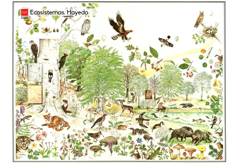 Ecosistemas. Hayedo