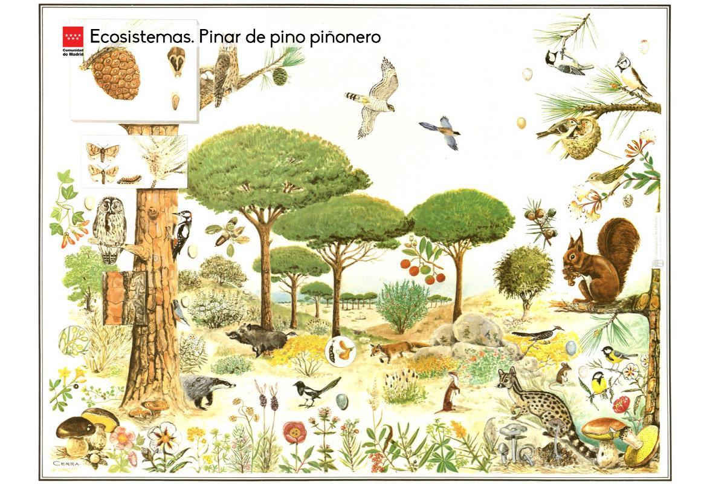 Ecosistemas. Pinar de pino piñonero