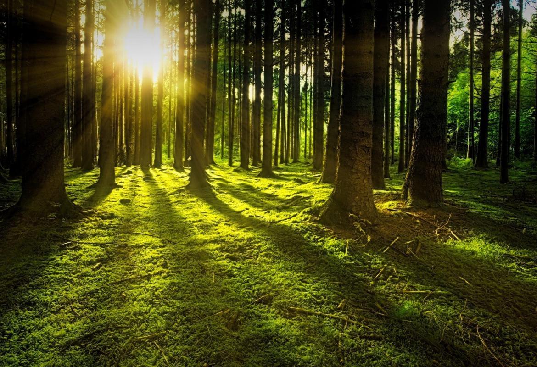 Bosque con rayos de sol a través de los árboles