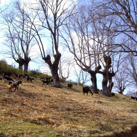 Reserva de la Biosfera Sierra del Rincón. Paisaje con cabras