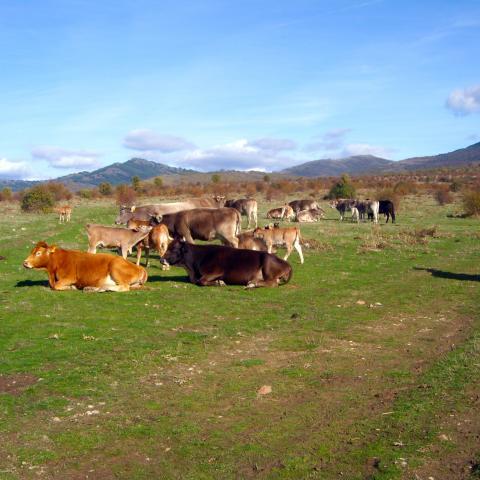 Reserva de la Biosfera Sierra del Rincón. Paisaje con ganado vacuno