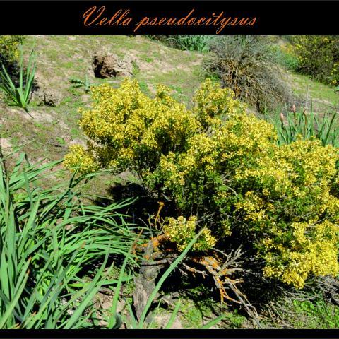 Vella pseudocitysus