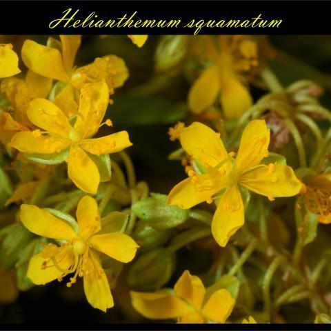 Helianthemum squamatum