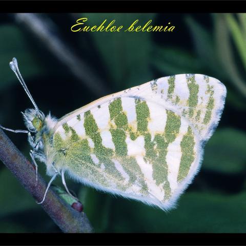 Euchloe belemia