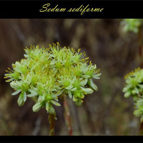 Sedum sediforme