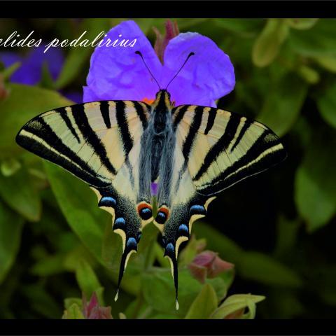 Iphiclides podalririus