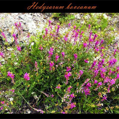 Hedysarum boveanum