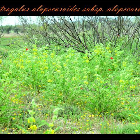 Astragalus alopecuroides