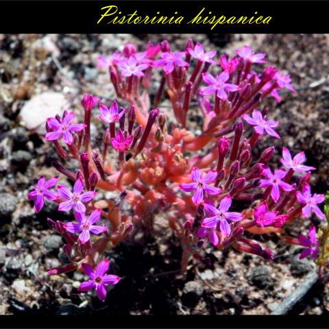 Pistorinia_hispanica