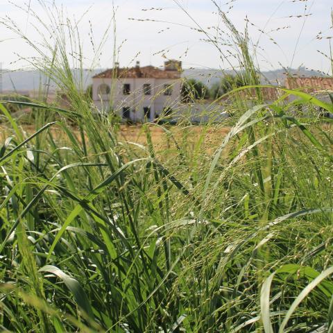 Cultivos energéticos de Miscanthus