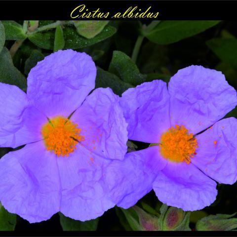 Cistus albidus