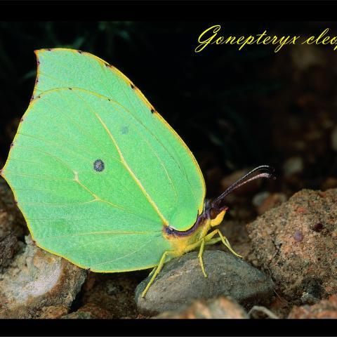Gonepteryx claopatra