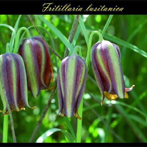 Fritillaria lusitanica