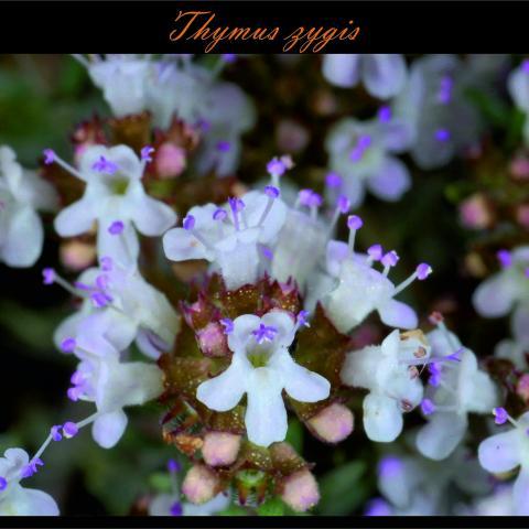 Thymus zygis