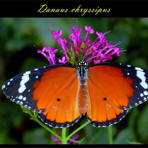 Danaus chryssipus