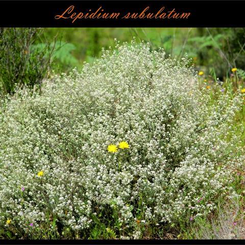 Lepidium subulatum