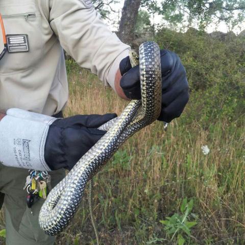 Imagen de un agente forestal recogiendo una culebra