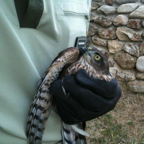 Imagen de un agente forestal sosteniendo un gavilán.