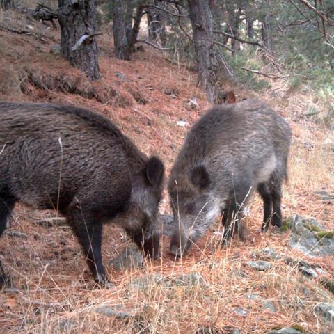 Fauna_Jabalí