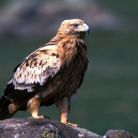Fauna_Águila imperial ibérica