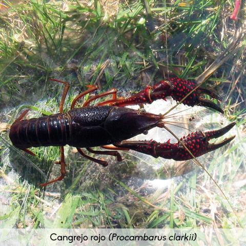 Fauna_Cangrejo rojo