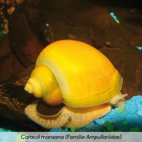 Fauna_Caracol Manzana