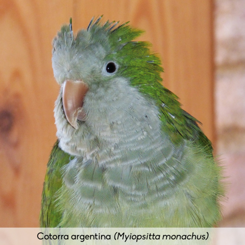 Fauna_Cotorra argentina