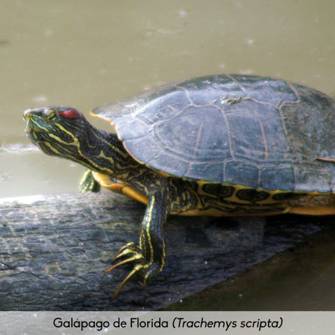 Fauna_Galápago de Florida
