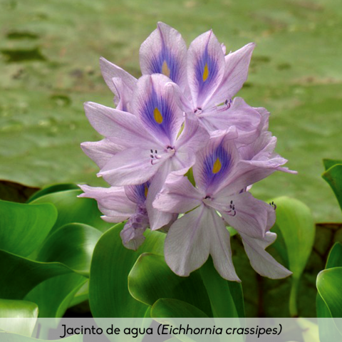 Flora_Jacinto de agua