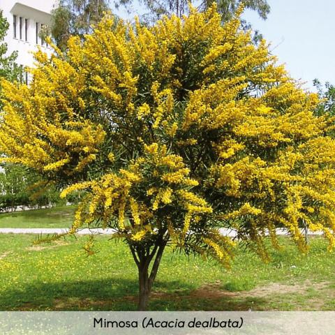 Flora_Mimosa