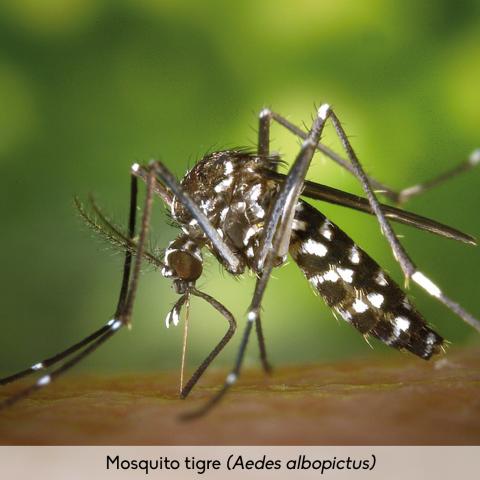 Fauna_Mosquito tigre