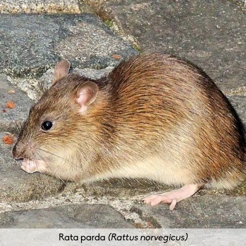 Fauna_Rata parda