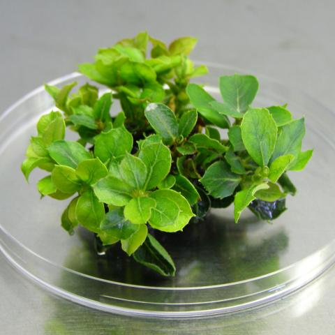 Reproducción vegetativa encina